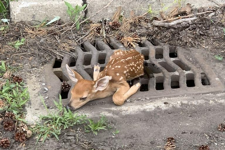 Police rescue baby deer from sewer grate in Ohio